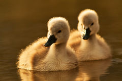 Two young swan Royalty Free Stock Image