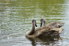 Two young swans on the lake. Two young swans swimming on the lake Royalty Free Stock Photography