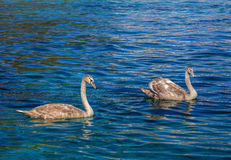Two young swans swimming in blue water Stock Images