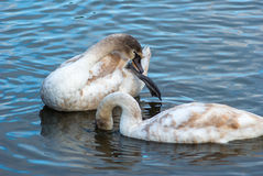 Two young swans Stock Image