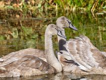 Two young swans. In lake Stock Photo