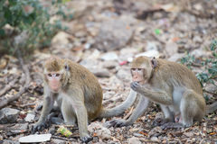 Two young thailand monkey eating some food on the floor Royalty Free Stock Images