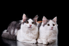 Two Young three-colored cats Royalty Free Stock Photo