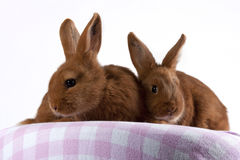 Two young Thrianta rabbits Royalty Free Stock Image