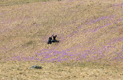 Two young tourists sitting on mountain meadow with crocus flowers blooming, Chocholowska valley Royalty Free Stock Photos