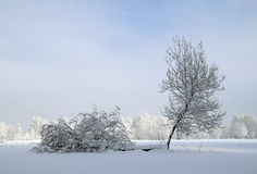 Two young trees. Two trees, covered by a snow, in the middle of a field Royalty Free Stock Photo