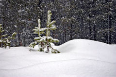 Two Young Trees in a Snowstorm. Two immature pine trees standing in a snow bank with heavy snow falling all around Stock Photo