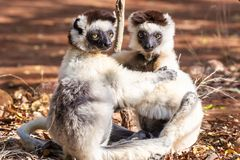 Verreaux`s Sifaka Lemurs stock images