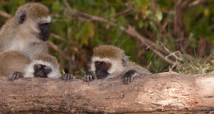 Two young Vervet Monkeys. Two juvenile Black-faced Vervet Monkeys (Chlorocebus pygerythrus) use a fallen log to rest their heads and recover from their tiresome royalty free stock photography
