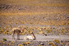 Vicuña in the Chilean Altiplano Royalty Free Stock Image