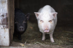 Two young vietnamese pigs Stock Photos