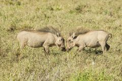 Two young warthogs playing in long grass royalty free stock photography