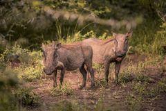 Two young warthogs stand in a clearing in Umkhuze Game Reserve. Isimangaliso Wetland Park, South Africa royalty free stock image