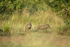 Two young warthogs standing alert stock photo