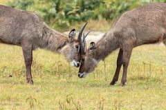 Two young Waterbucks mock fighting. The waterbuck is a large antelope found widely in sub-Saharan Africa. It is placed in the genus Kobus of the family Bovidae Royalty Free Stock Image