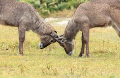 Two young Waterbucks mock fighting. The waterbuck is a large antelope found widely in sub-Saharan Africa. It is placed in the genus Kobus of the family Bovidae Stock Image