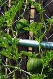 Two young watermelons growing upright on a trellis.  Royalty Free Stock Photo