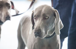 Two young Weimaraner dogs Stock Photo