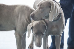 Two young Weimaraner dogs Stock Photos
