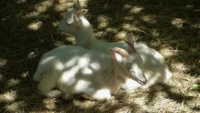 Two young white goats lie on the hay stock video footage