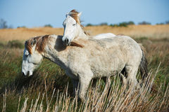 Two young white horses. Of the Camargue play friendly Royalty Free Stock Photo