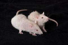 Two young white rats Stock Photo