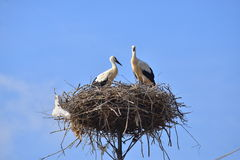 Two young white storks Royalty Free Stock Photos