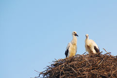 Two young white storks in the nest on blue sky background Royalty Free Stock Photos