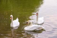 Two young white swan swim to fellow swan on the water surface of the pond Royalty Free Stock Images