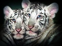 Two Young White Tiger Royalty Free Stock Image