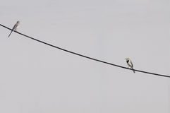 Two young white wagtail on a cable Stock Images