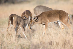 Two young whitetail buck play fighting Stock Image