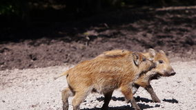 Two young wild boar playing. With each other in the mud stock footage