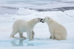 Two Young Wild Polar Bears Playing On Pack Ice Stock Images