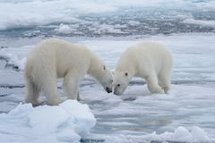 Two young wild polar bears playing on pack ice. In Arctic sea stock photos