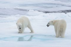 Two young wild polar bears playing on pack ice. In Arctic sea stock photo