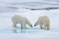 Two young wild polar bears playing on pack ice. In Arctic sea stock image