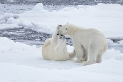 Two young wild polar bears playing on pack ice. In Arctic sea royalty free stock photography
