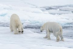 Two young wild polar bears playing on pack ice. In Arctic sea royalty free stock image