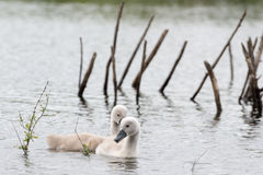Two young wild swan chicks on a lake Royalty Free Stock Photography