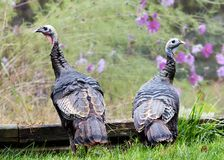 Two Young Wild Turkeys. Two immature wild eastern turkeys  (Meleagris gallopavo silvestris Royalty Free Stock Photography