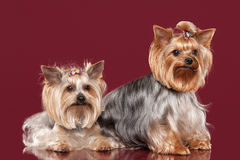 Two Young Yorkies on dark red background Royalty Free Stock Images