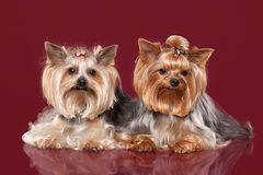 Two Young Yorkies on dark red background Royalty Free Stock Photo