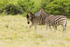 Two young zebras having fun Royalty Free Stock Photo