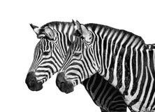 Two young zebras isolated on white. Safari animals. Zebras portrait close up. Black and white photo stock photo