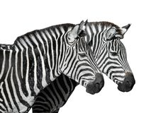 Two young zebras isolated on white. Safari animals. Zebras portrait close up royalty free stock photos