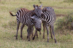 Two young zebras playing Stock Photography