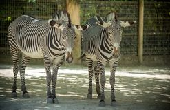 Youg two Zebras in a Zoo Stock Photos
