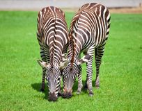 Two zebra. Was eating grass Stock Image