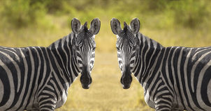 Two Zebra Royalty Free Stock Photos